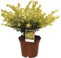 Bergilex FloraSelf Ilex crenata 'Golden Gem' H 15-20 cm Co 2 L