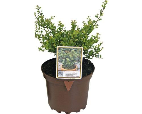 Bergilex FloraSelf Ilex crenata 'Glory Gem' H 15-20 cm Co 2 L