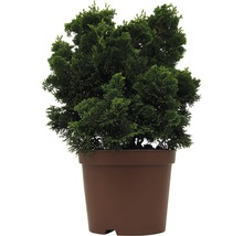Kleine Muschelzypresse FloraSelf Chamaecyparis obtusa 'Nana Gracilis' H 20-25 cm Co 2 L