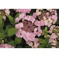 Tellerhortensie rosa FloraSelf Hydrangea macrophylla H 30-40 cm Co 5 L
