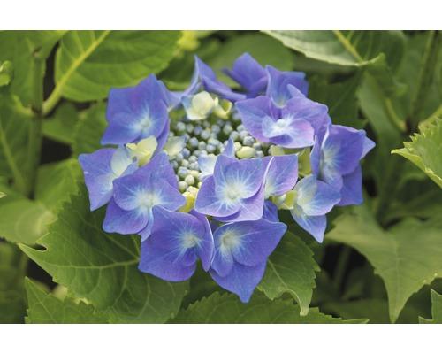 Tellerhortensie blau FloraSelf Hydrangea macrophylla H 30-40 cm Co 5 L