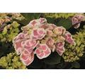 Gartenhortensie, Bauernhortensie FloraSelf Hydrangea macrophylla H 30-40 cm Co 4 L zufällige Sortenauswahl