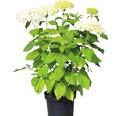 Schneeballhortenise, Waldhortensie FloraSelf Hydrangea arborescens 'Annabelle' H 50-60 cm Co 5 L