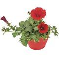 Hängepetunie FloraSelf Petunia x atkinensis 'Surf Table Red' Ø 12 cm Topf