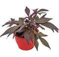 Ziersüsskartoffel FloraSelf Ipomoea batatas 'Sweet Caroline Purple' Ø 12 cm Topf