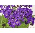 Vanilleblume FloraSelf Heliotropium arboresckens 'Midnight Sky' Ø 15 cm Topf
