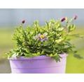 Gänseblümchen FloraSelf Brachyscome x Hybride 'Brasco Violet' Ø 12 cm Topf