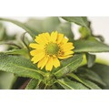 Atztekengold FloraSelf Sanvitalia hybride 'Talya Great Yellow' Ø 12 cm Topf