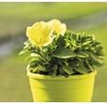 Petunie FloraSelf Petuniax atkinensis 'Sunshine Ray' Ø 12 cm Topf