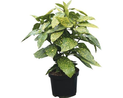 Metzgerpalme, Japanische Aucube FloraSelf Aucuba japonica 'Variegata' H 40-50 cm Co 4 L