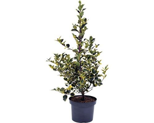 Gelbbunte Stechpalme FloraSelf Ilex aquifolium 'Rubricaulis Aurea' H 40-60 cm Co 5 L
