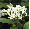 Mittelmeer Schneeball FloraSelf Viburnum Tinus H 40-50 cm Co 5 L