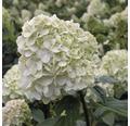 Rispenhortensie FloraSelf Hydrangea paniculata 'Limelight' H 50-60 cm Co 5 L