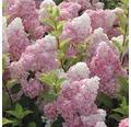Rispenhortensie FloraSelf Hydrangea paniculata 'Vanille Fraise' H 50-60 cm Co 5 L