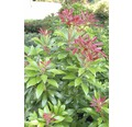 Japanische Lavendelheide FloraSelf Pieris japonica H 60-80 cm Co 6 L