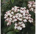 Mittelmeer Schneeball FloraSelf Viburnum tinus 'Eve Price' H 60-80 cm Co 15 L