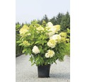 Rispenhortensie FloraSelf Hydrangea paniculata 'Limelight' H 30-40 cm Co 15 L
