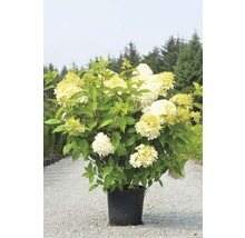 Rispenhortensie FloraSelf Hydrangea paniculata 'Limelight' H 30-40 cm Co 15 L 30 Jahre FloraSelf Edition