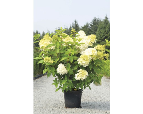 Rispenhortensie FloraSelf Hydrangea paniculata 'Limelight' H 30-40 cm Co 15 L