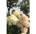 Rispenhortensie FloraSelf Hydrangea paniculata 'Limelight' H 80-100 cm Co 10 L