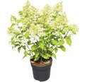 Rispenhortensie FloraSelf Hydrangea paniculata 'Phantom' H 50-60 cm Co 5 L
