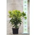 Metzgerpalme, Japanische Aucube FloraSelf Aucuba japonica 'Rozannie' H 40-50 cm Co 4 L