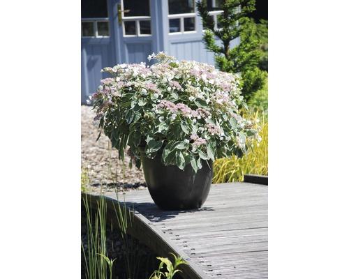 Gartenhortensie, Bauernhortensie FloraSelf Hydrangea macrophylla 'Light-O-Day' H 50-60 cm Co 5 L