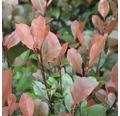 Zwerg-Glanzmispel Stämmchen FloraSelf 'Little Red Robin' Stamm H 40 cm Co 6 L