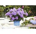 blaue Gartenhortensie, Bauernhortensie FloraSelf Hydrangea macrophalla 'Bloomstar' H 50-60 cm Co 5 L