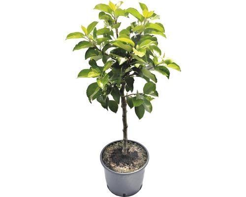 Zwerg-Apfelbaum FloraSelf Malus domestica 'Delgrina' H 60-100 cm Co 7,5 L