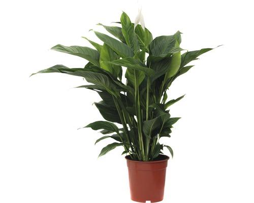Einblatt FloraSelf Spathiphyllum wallisii H 90-105 cm Ø 21 cm Topf