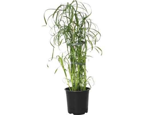 Zyperngras FloraSelf Cyperus alternifolius H 45-55 cm Ø 14 cm Topf