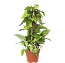 gelbbunte Efeutute FloraSelf Scindapsus aureum H 55-65 cm Ø 15 cm Topf