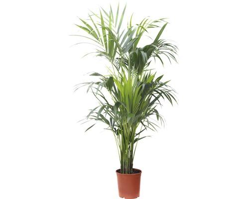 Howea-Palme, Kentia FloraSelf Howea forsteriana H 150-160 cm Ø 23 cm Topf