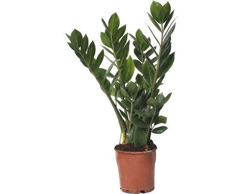 Glücksfeder FloraSelf Zamioculcas zamiifolia H 45-55 cm Ø 13 cm Topf