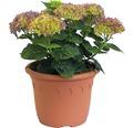 Gartenhortensie, Bauernhortensie FloraSelf Hydrangea macrophylla 'Hovaria Hobergine' H 30-40 cm Co 4,6 L