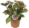 Tellerhortensie FloraSelf Hydrangea macrophylla 'Hovaria Love You Kiss' H 30-40 cm Co 4,6 L