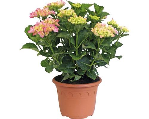 Gartenhortensie, Bauernhortensie FloraSelf Hydrangea macrophylla 'Hovaria Sweet Fantasy' H 30-40 cm Co 4,6 L