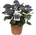 Gartenhortensie, Bauernhortensie FloraSelf Hydrangea macrophylla 'Hovaria Hopcorn' H 30-40 cm Co 4,6 L