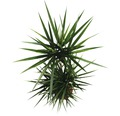 Drachenbaum FloraSelf Dracaena massangeana H 150-170 cm Ø 30 cm Topf