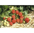 Erdbeere Fragaria x ananassa 'Ostara' Ø 20 cm Topf 10 Stk