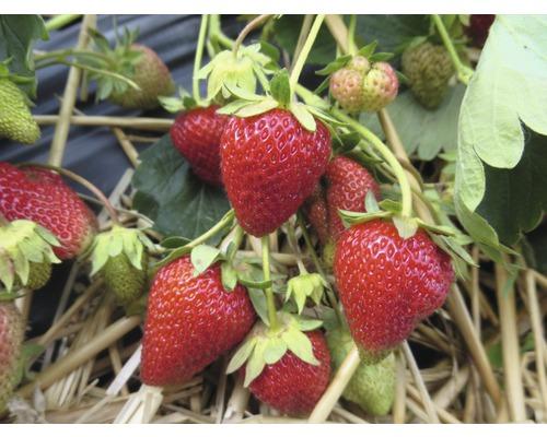 Erdbeere Fragaria x ananassa 'Korona' Ø 20 cm Topf 10 Stk