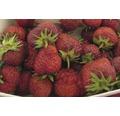 Erdbeere Fragaria x ananassa 'Senga® Sengana' Ø 20 cm Topf 10 Stk