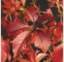 Wilder Wein FloraSelf Parthenocissus quinquefolia 'Engelmannii' H 50-70 cm Co 2,3 L