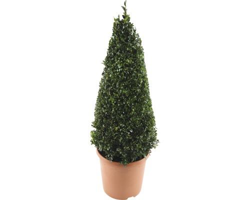 Buchsbaum-Pyramide FloraSelf Buxus sempervirens H 50-60 cm Co 4,5 L
