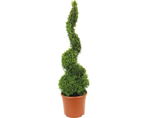 Buchsbaum-Spirale FloraSelf Buxus sempervirens H 90-100 cm Co 12 L