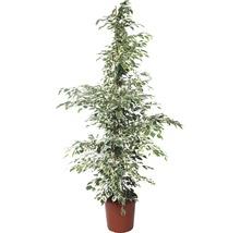Birkenfeige FloraSelf Ficus benjamnia 'Twilight' H 130-140 cm Ø 24 cm Topf
