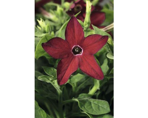 Tabak FloraSelf Nicotiana x sanderare Ø 10,5 cm Topf