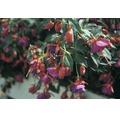 Fuchsie FloraSelf Fuchsia-Cultivars Ø 10,5 cm Topf hängend