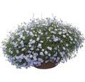 Gänseblümchen FloraSelf Brachyscome multifida Ø 10,5 cm Topf